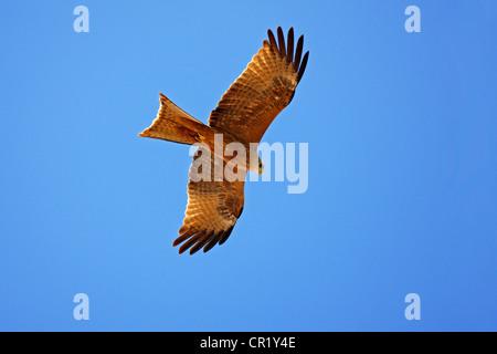 Ägypten, Oberägypten, Nubia, Schwarzmilan (Milvus Migrans) AAS feeder - Stockfoto