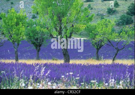 Frankreich, Alpes de Haute Provence, Lavendel und Mandelbäume in der Nähe von Banon - Stockfoto