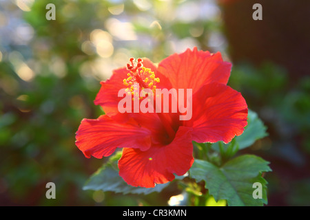 Tropischen Hibiskusblüte