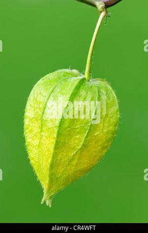 Blase-Kirsche, chinesische Laterne, japanische Laterne oder Winterkirsche (Physalis Franchetii, Physalis Alkekengi) - Stockfoto