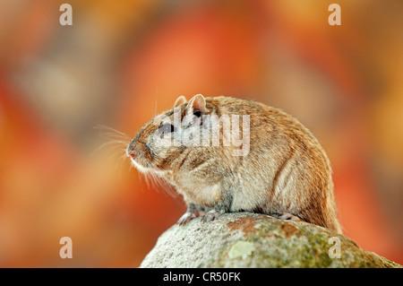 Mongolische gehalten oder Mongolische Wüstenrennmaus (Meriones Unguiculatus), asiatische Arten, in Gefangenschaft, - Stockfoto