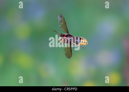 europ ische hornisse vespa crabro arbeiter im flug th ringen stockfoto bild 62008508 alamy. Black Bedroom Furniture Sets. Home Design Ideas