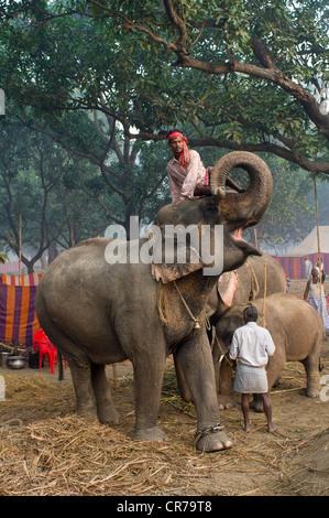 Mahout sitzt auf dem Kopf eine begrüssende Elefant Haathi Basar, Sonepur Mela, Sonepur, Bihar, Indien - Stockfoto