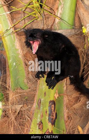 Black Lemur (Eulemur Macaco), männlichen Erwachsenen, Gähnen, Nosy Komba, Madagaskar, Afrika - Stockfoto