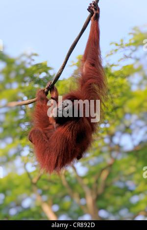 Bornean Orang-Utans (Pongo Pygmaeus), Weiblich, auf einer Liane, Singapur, Asien - Stockfoto