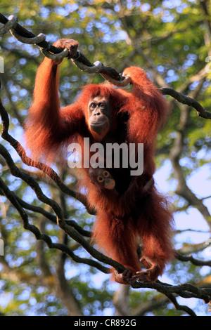 Bornean Orang-Utans (Pongo Pygmaeus), Mutter mit jungen auf einer Liane, Singapur, Asien - Stockfoto