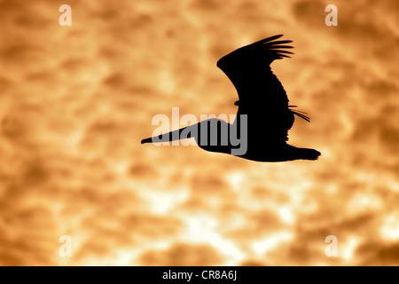 Brauner Pelikan (Pelecanus Occidentalis), Erwachsene, fliegen, Sonnenuntergang, Wolken, Florida, USA, Amerika - Stockfoto