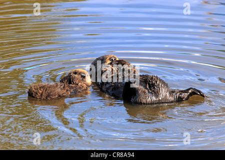 Seeotter (Enhydra Lutris), weiblichen Erwachsenen mit jungen in das Wasser, Monterey, Kalifornien, USA, Amerika - Stockfoto