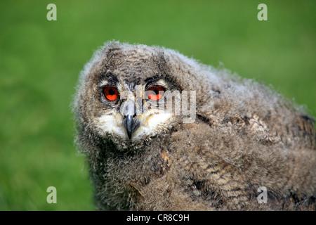Uhu (Bubo Bubo), Jungvogel, Porträt, Deutschland, Europa - Stockfoto