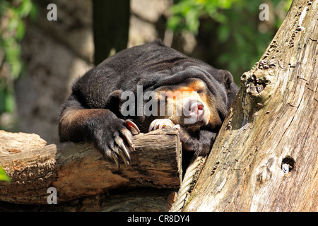 """Sun Bear """"oder"""" Honig-Bären (Helarctos Malayanus), ruhen, in Gefangenschaft, Miami, Florida, USA - Stockfoto"""