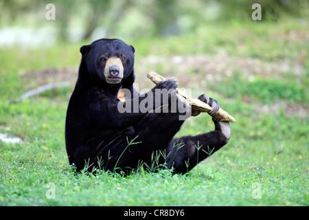 Sun bear oder Honig Bär (Helarctos Malayanus), Erwachsene, Männlich, spielen, Gefangenschaft, Miami, Florida, USA - Stockfoto