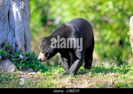 Sun bear oder Honig Bär (Helarctos Malayanus), Erwachsener, Frau, gefangen, Miami, Florida, USA - Stockfoto