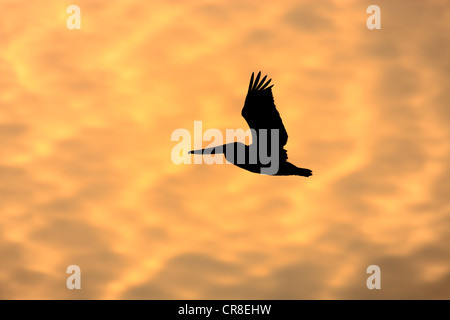 Brauner Pelikan (Pelecanus Occidentalis), Erwachsene im Flug bei Sonnenuntergang, Florida, USA - Stockfoto
