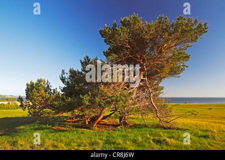 Alten freistehenden Kiefer (Pinus Sylvestris) im Abendlicht, Naturschutzgebiet auf Moenchsgut Halbinsel und Ruegischer - Stockfoto