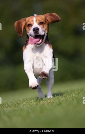 Hund läuft auf Rasen mit Zunge heraus - Stockfoto