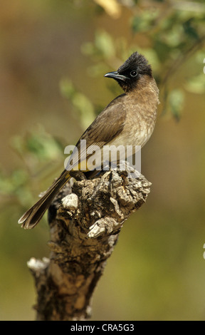 Dark-capped bulbul (pycnonotus tricolor), Krüger Nationalpark, Südafrika - Stockfoto