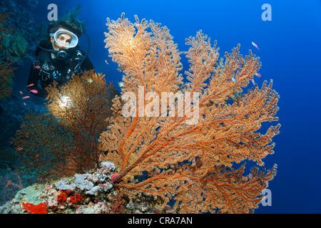 Taucher mit Blick auf eine rote Gorgonien (Plexauridae) am Korallenriff, Great Barrier Reef, UNESCO-Weltkulturerbe - Stockfoto