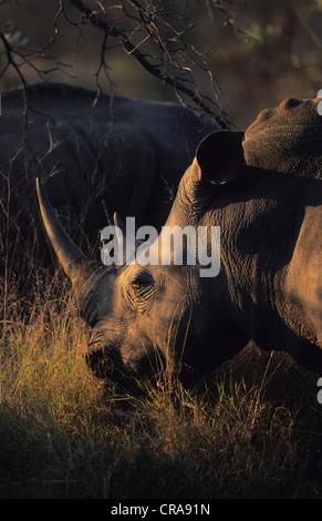 Weiße Nashörner (Rhinocerotidae)), Beweidung, Sabi Sabi Game Reserve, Krüger Nationalpark, Südafrika, Afrika - Stockfoto