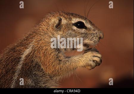 Erdhörnchen (Xerus inauris), Kgalagadi Transfrontier Park, Kalahari, Südafrika, Afrika - Stockfoto