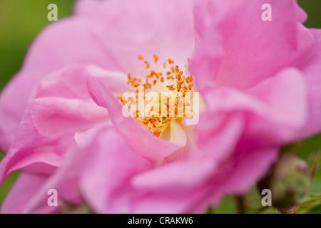 damaszener rose rosa damascena stockfoto bild 7506459 alamy. Black Bedroom Furniture Sets. Home Design Ideas