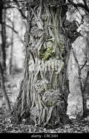 Stamm von einem sehr alten Ahorn (Acer SP.) in einem Wald in der Nähe von Potsdam-Paaren, Brandenburg, Deutschland, - Stockfoto