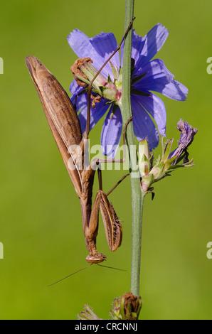 Beten Gottesanbeterin (Mantis Religiosa), Allersgraben, Süd-Burgenland, Österreich, Europa - Stockfoto