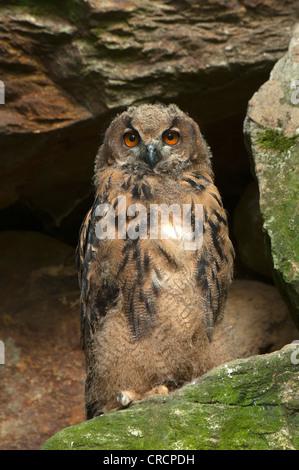 Eurasische Adler-Eule (Bubo Bubo), Juvenile, Nationalpark Bayerischer Wald, Bayern, Deutschland, Europa - Stockfoto