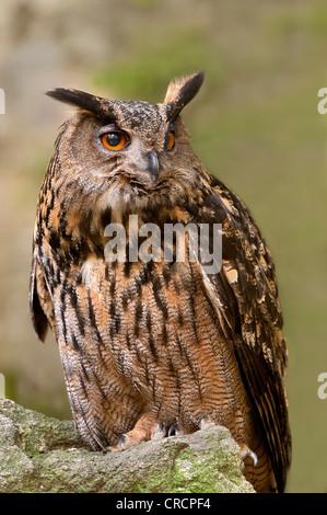 Eurasische Adler-Eule (Bubo Bubo), Nationalpark Bayerischer Wald, Bayern, Deutschland, Europa - Stockfoto