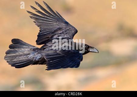 Kanarischen Inseln Raven (Corvus Corax Tingitanus) fliegen - Stockfoto