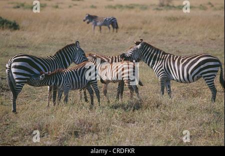 GREVY ZEBRA (EQUUS GREVYI) MIT IHREN JUNGEN. EINER IST PFLEGE, KENIA, AFRIKA - Stockfoto