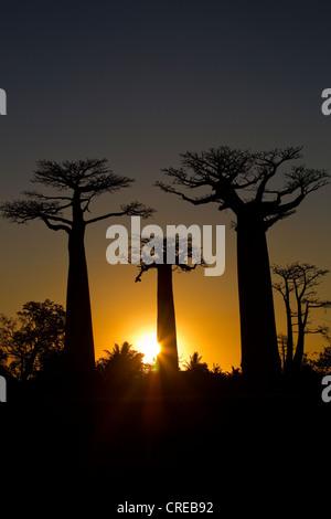 Baobab-Allee, Baobab Bäume (Affenbrotbäume Digitata) bei Sonnenuntergang, in der Nähe von Morondava im Westen von - Stockfoto