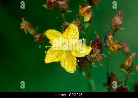 WELLIG ST Johanniskraut-Hypericum Undulatum (Clusiaceae) - Stockfoto