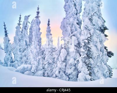 Schnee auf den Bäumen. Mt. Rainier Nationalpark, Washington