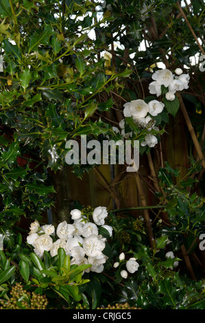 Philadelphus virginal mock orange wei bl hende strauch for Strauch mit blauen bluten