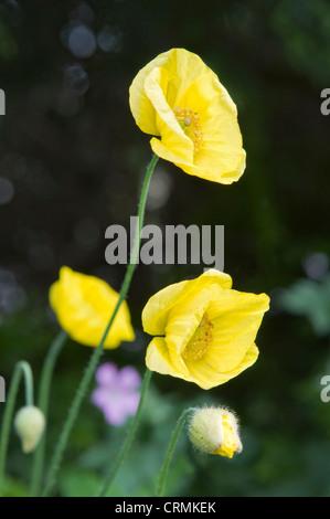 Gelbe isländischer Mohn wächst im Garten in Bristol gegen aus Fokus Hintergrund mit Bokeh-Effekt - Stockfoto