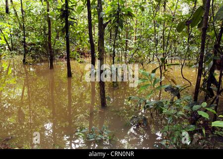 Überfluteten Regenwald im ecuadorianischen Amazonasgebiet - Stockfoto