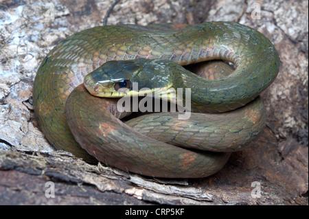 FALSCHE COBRA.  Pseudoxenodon Macrops große Augen, nicht giftige, gemeinsame - Stockfoto