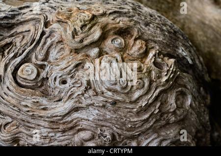 Verwitterter verrotter Abschnitt der Baumstammdetails. Holztextur Nahaufnahme, Knüpfbaum, Knoty organischer Baum - Stockfoto