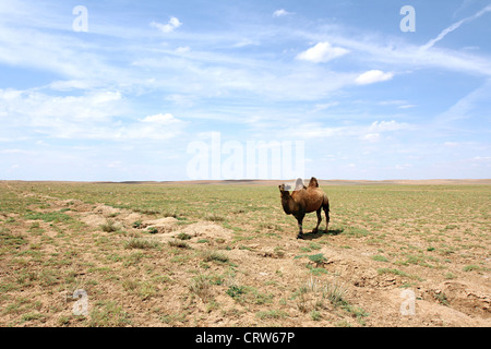 Kamel in der Wüste Gobi - Stockfoto