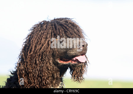 Irish Water Spaniel portrait - Stockfoto