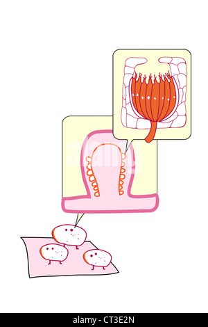 LINGUALEN PAPILLEN, ILLUSTRATION Stockfoto, Bild: 49249358 - Alamy