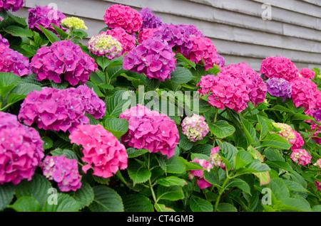 Rhode Island, Block Island. Hortensie Blumen in voller Blüte. - Stockfoto