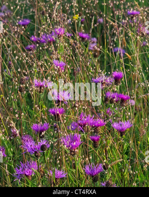 Größere Flockenblume Centaurea Scabiosa und Beben grass Briza media - Stockfoto