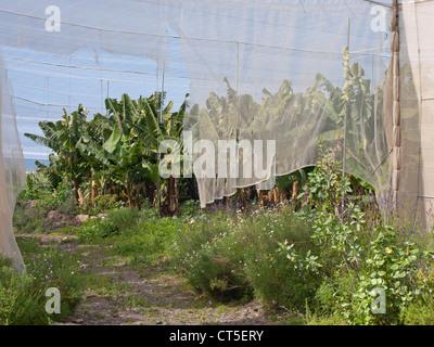 Bananenplantage mit Sonnenschirm-Abdeckung in Teneriffa Spanien - Stockfoto
