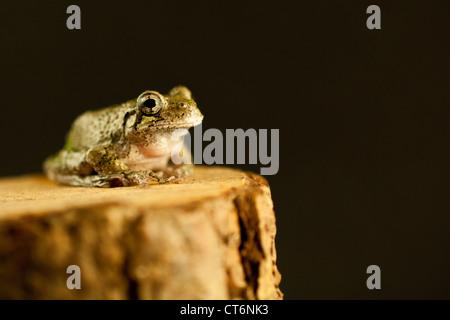 Gray Treefrog (Hyla versicolor) - Stockfoto