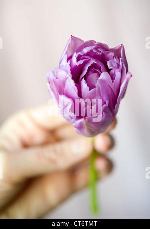Frauen Hand, die kleine lila Tulpe im Gegenlicht Hintergrund Unschärfe. Flachen DOF