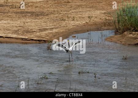 Sattel – abgerechnet Storch (Nahrung Senegalensis) in Wasser, Krüger Nationalpark, Südafrika - Stockfoto