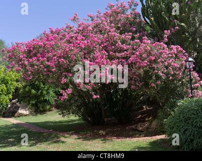 dh FLORA Zypern rosa Blüte Nerium Oleander Busch - Stockfoto