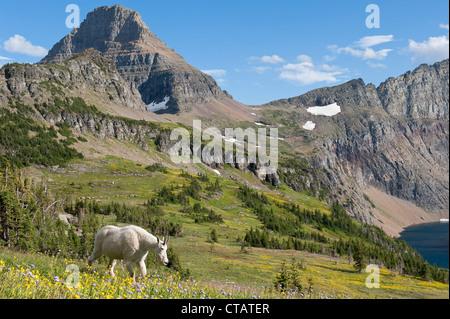 Eine Bergziege durchschreitet Wildblumen im Glacier National Park. - Stockfoto