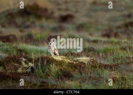 Kurze eared Eule thront auf einem Grasbüschel von Heather in North Uist, Schottland - Stockfoto